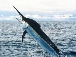 Pesce spada un eroe del mare